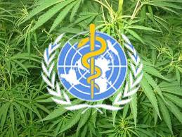 cannabis - neueinschätzung durch die who